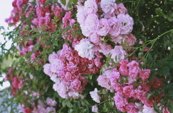 Tutu's Pantry - Lokelani Roses Hydrosol - Lokelani Essentials - 2